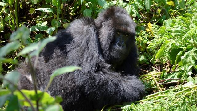 Mountain Gorilla Trekking Rwanda