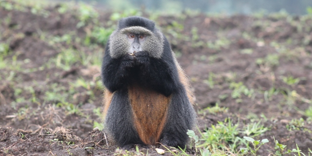 a golden monkey in the potato fields