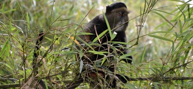 golden-monkey-tracking-adventure