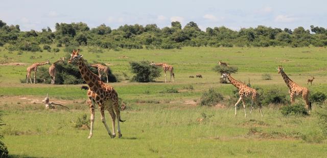 wildlife murchison falls uganda
